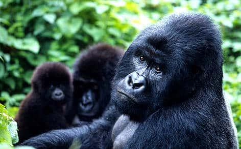 Caminata del Gorila de Montaña