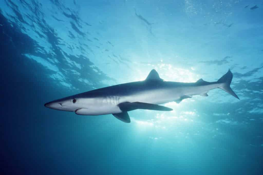 Blue Shark Diving