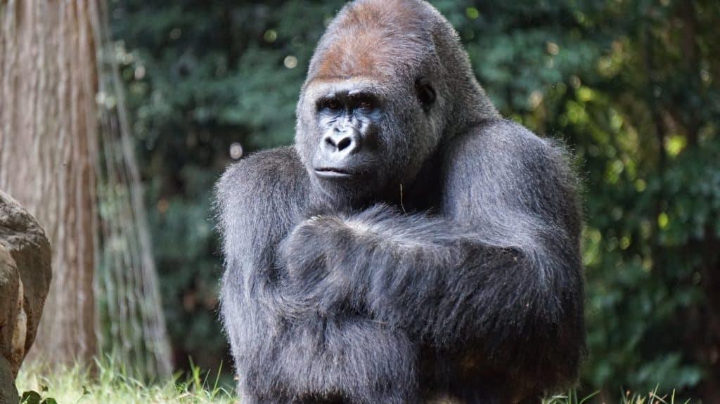 Macho de gorila