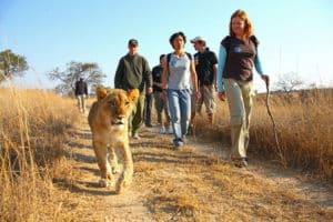 La caminata del león