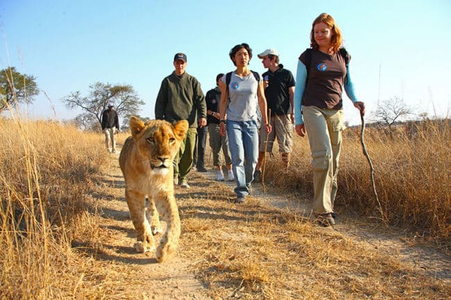 Lion Walk for the Top 10 ideas to see wildlife