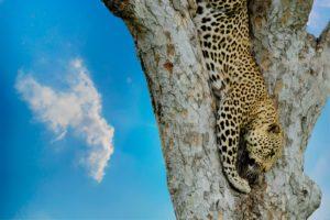 Jaguar cazando en un árbol