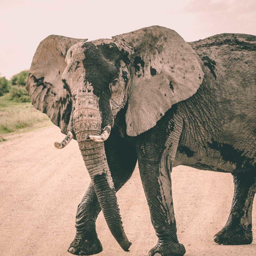 wild elephant on street