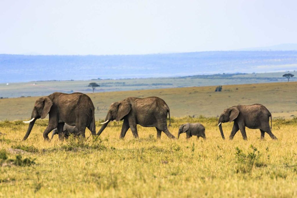 african elephant viewing