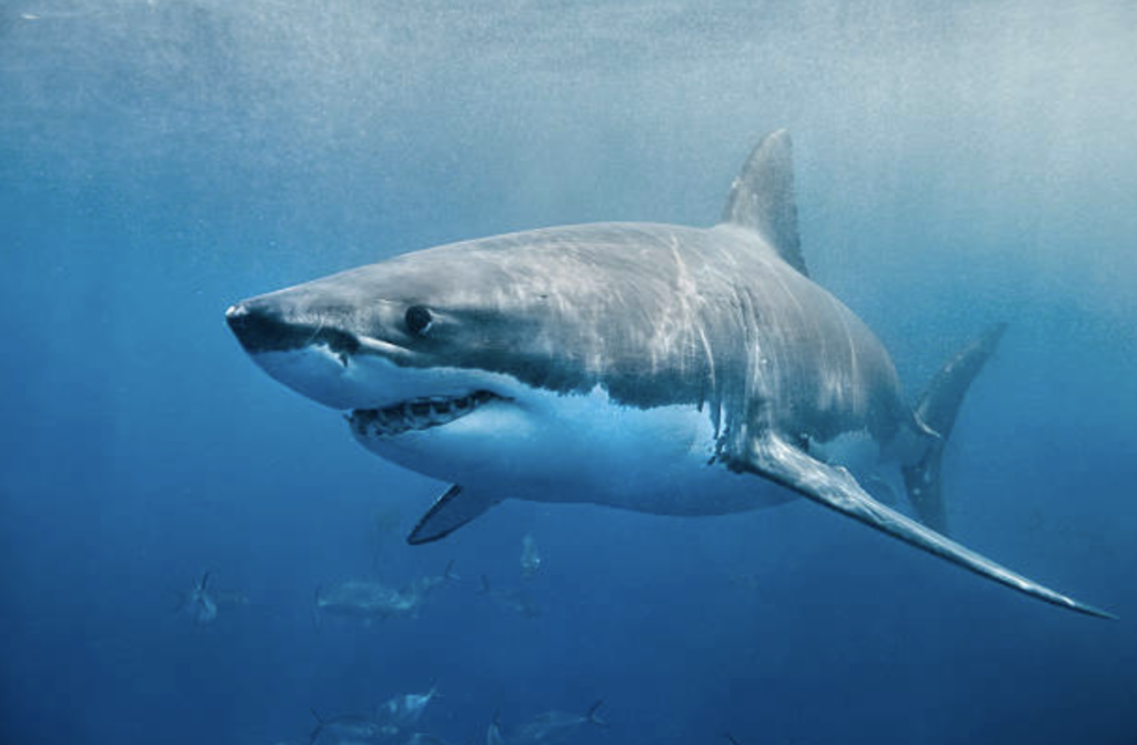 Great White Shark Diving around the globe