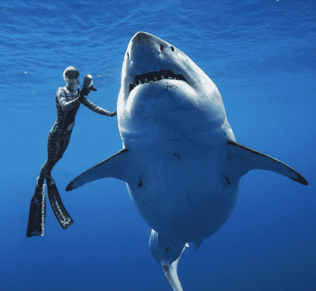 Ocean Ramsey doing Great White Shark Diving
