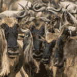 Wildebeest groups