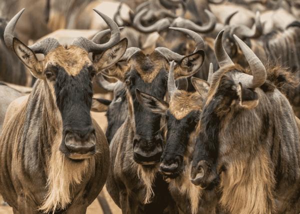 Wildebeest groups
