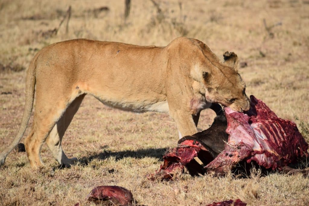 Wildebeest Killed by Lion
