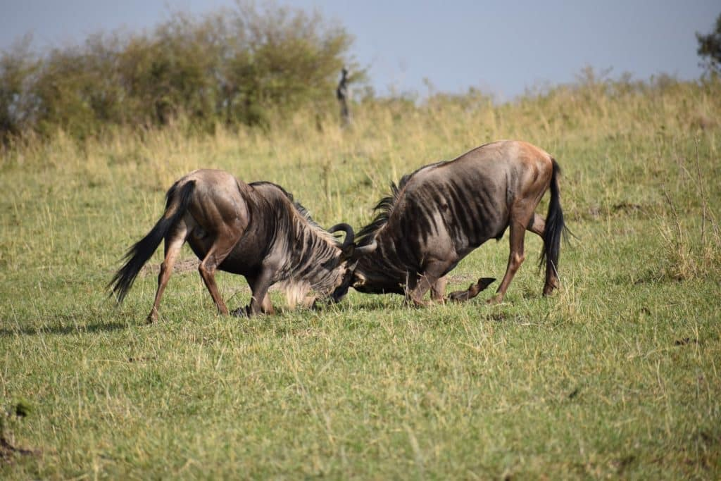 Wildebeest Fight