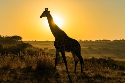 Giraffe walking in sunset