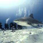 Bull Shark with Divers
