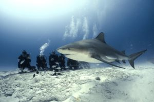 Bullenhai mit Tauchern