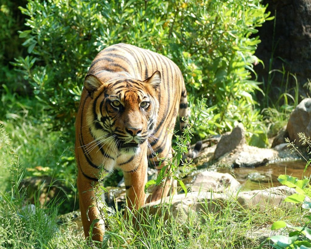 Indonesia Tiger on a tiger tour