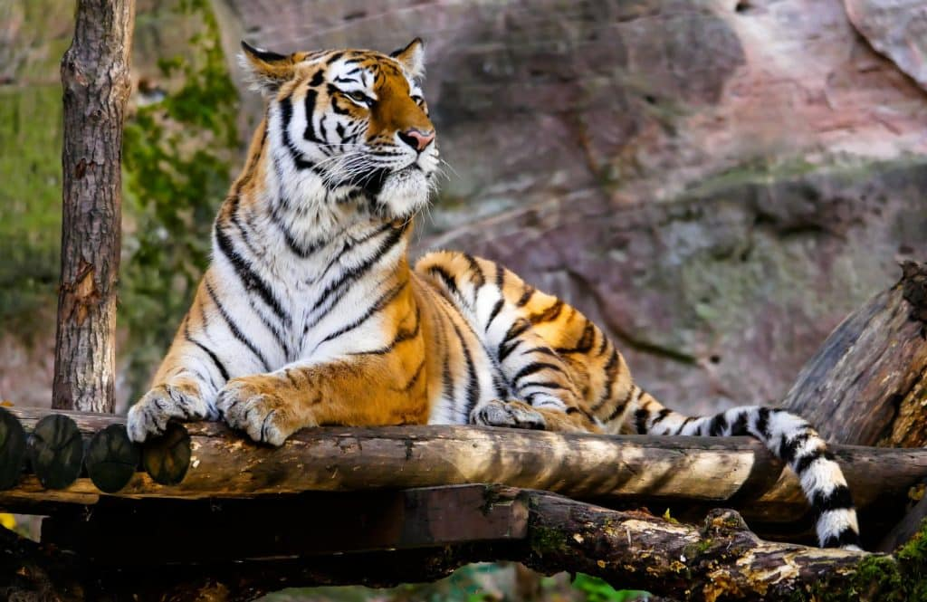 Tiger in Nepal after a Tiger Safariand tour