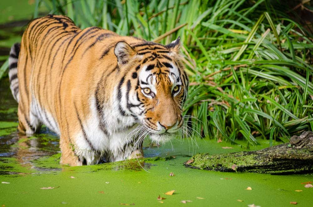 Tiger in Western Bengal after a tiger tour