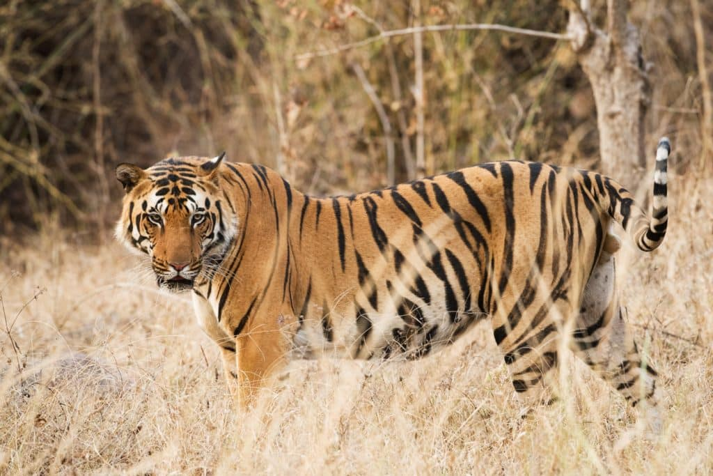 Tiger in the grass field after a tiger safari