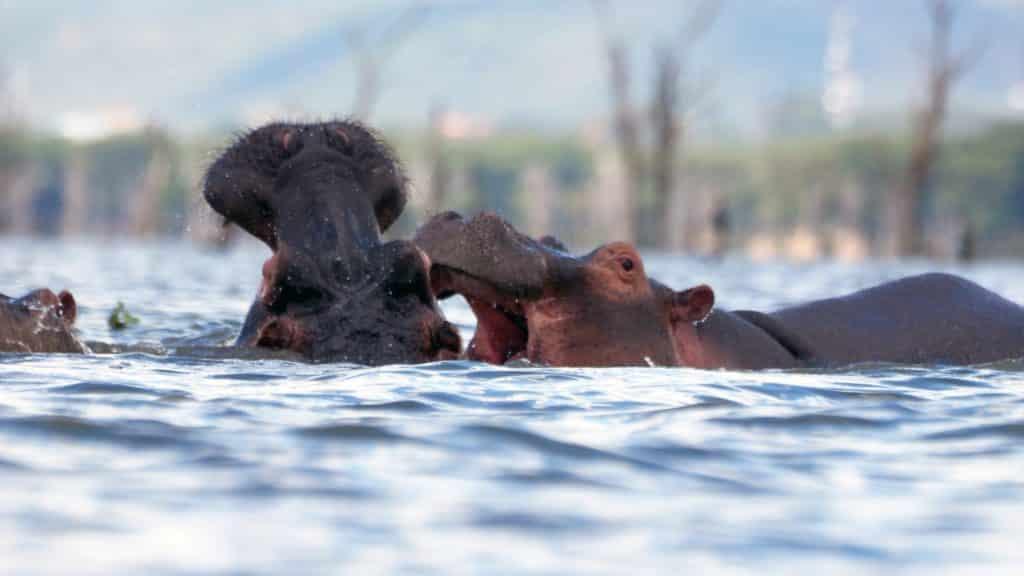 Afrikanische Nilpferde