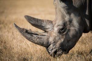 Cuerno de un rinoceronte negro