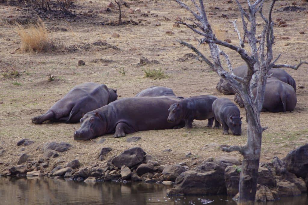 familia de hipopótamos
