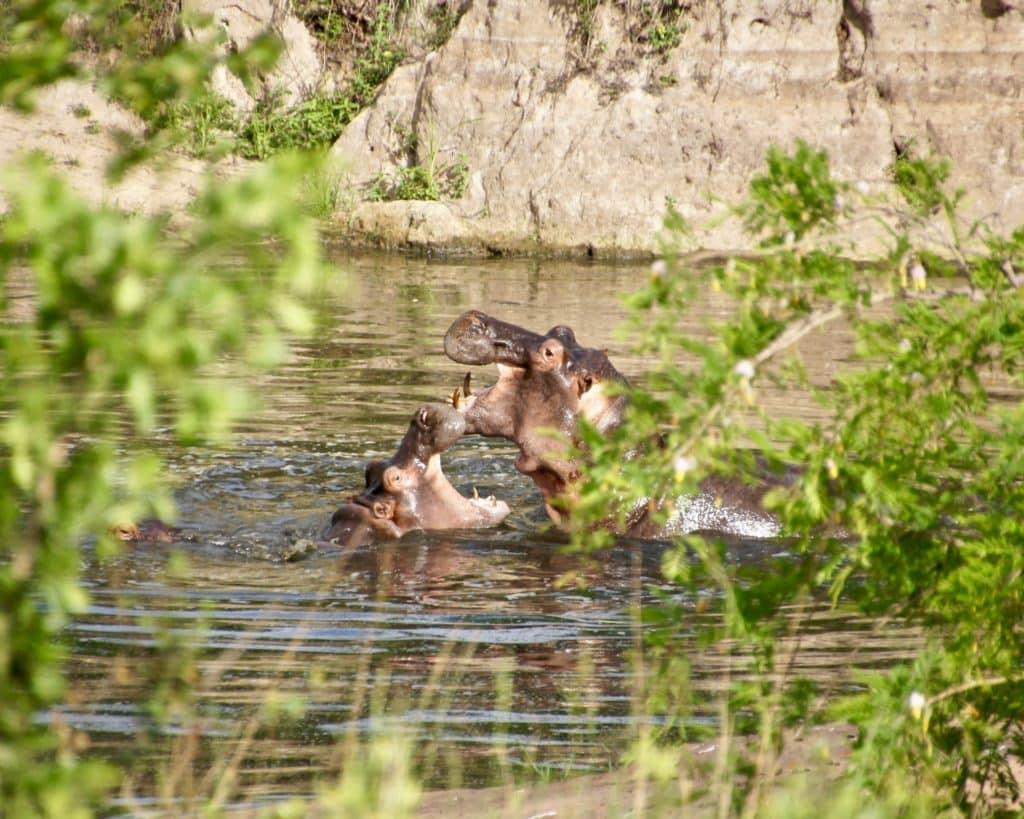 serengti hippo