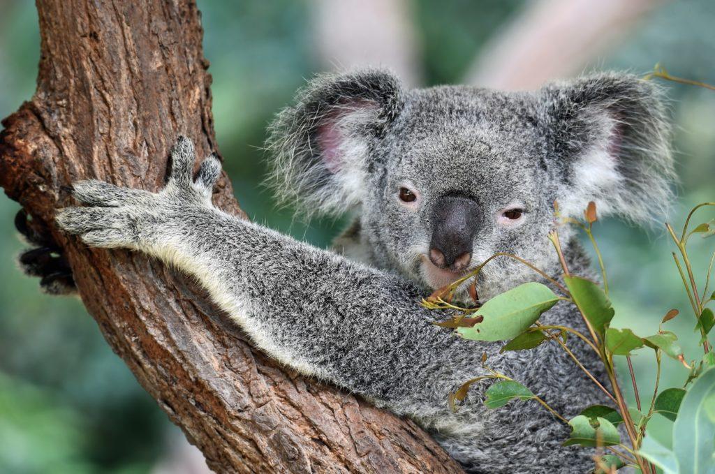 tiempo de caricias de koala