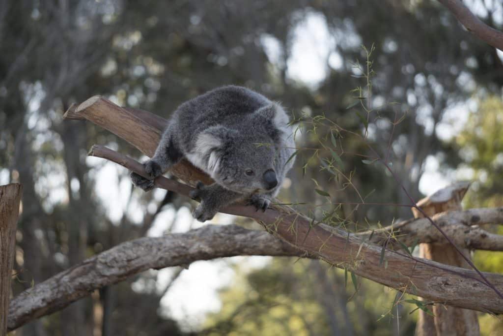 koala curious