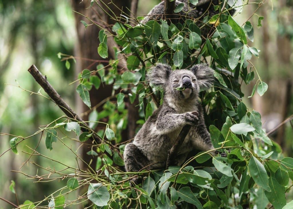alimento verde de koala