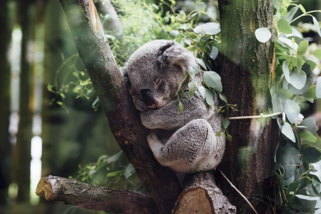 koala place to sleep