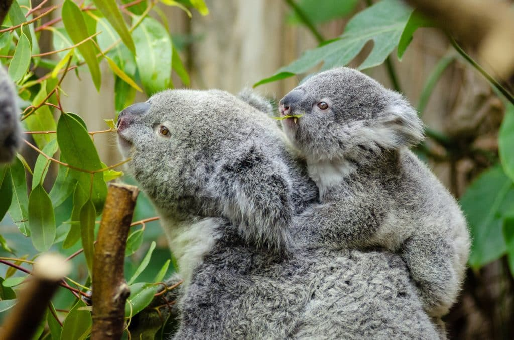 koala time with baby