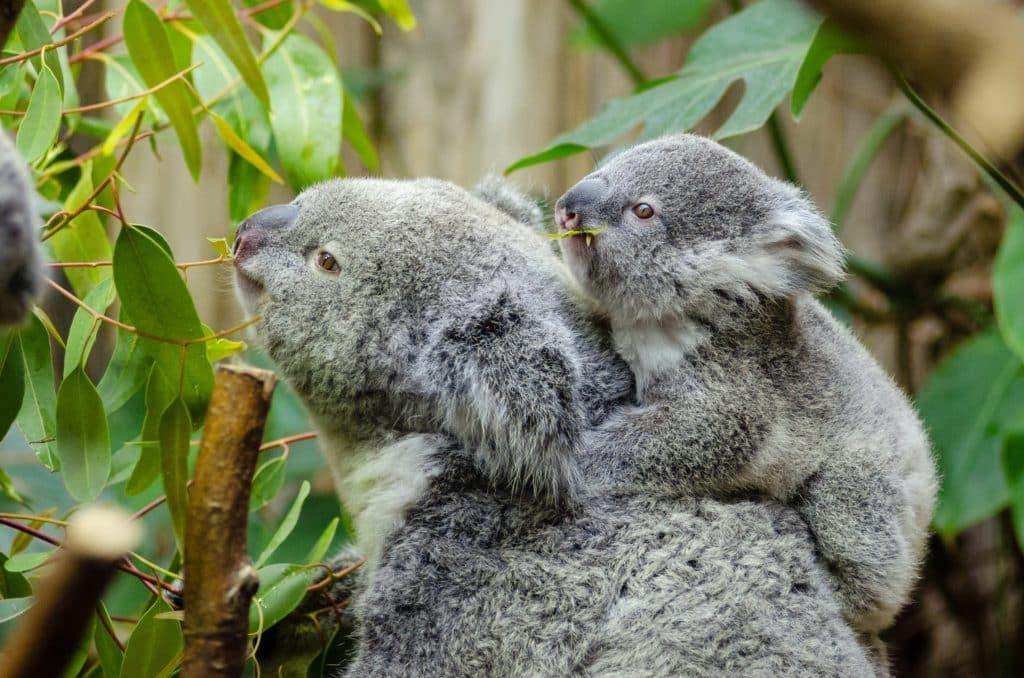 tiempo de koala con el bebé