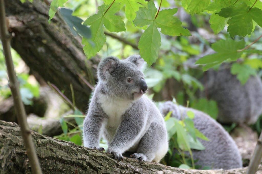 árbol con koalas