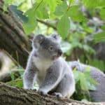 árbol koala