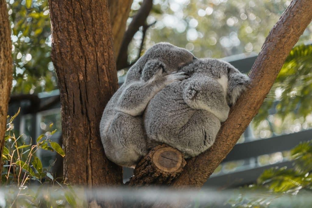 koala dos