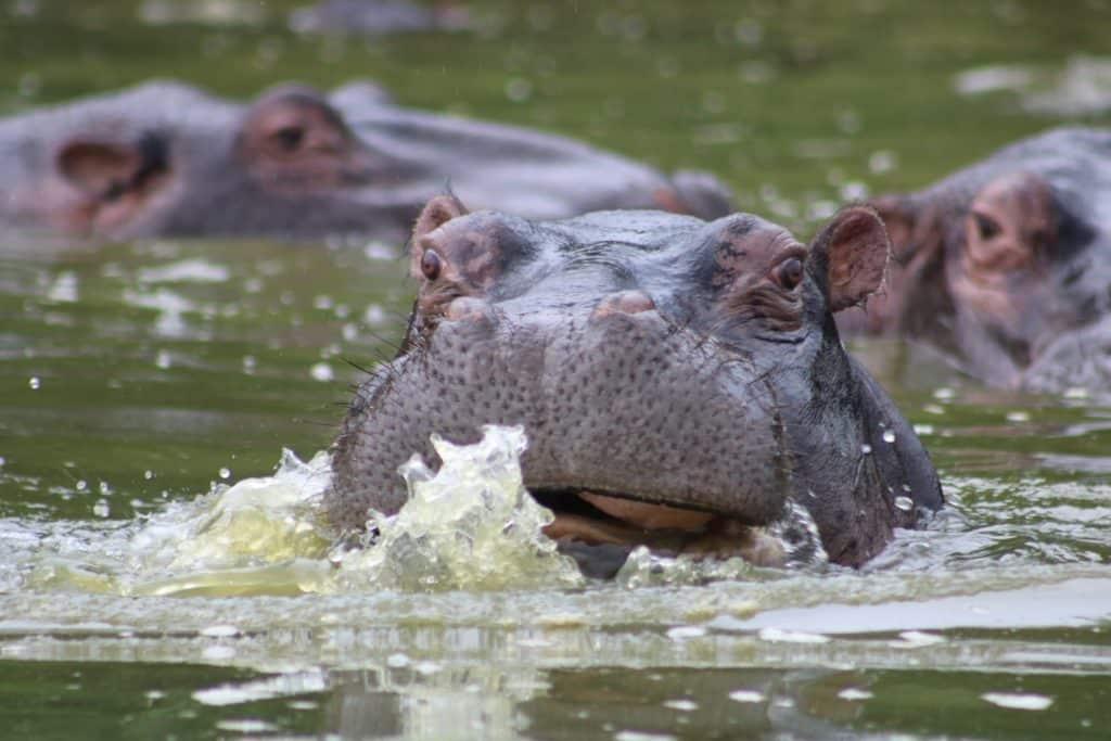 Krüger Nationalpark Nilpferd