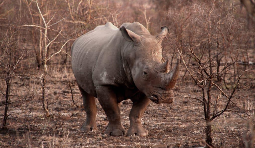 Rinoceronte en África