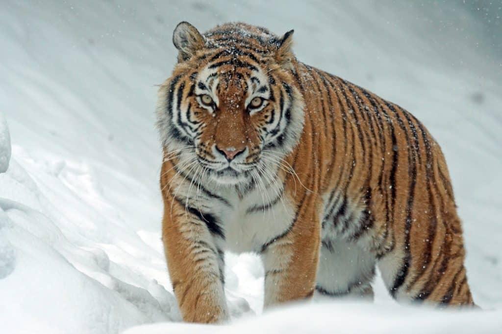 The Siberian Tiger on a tiger safari