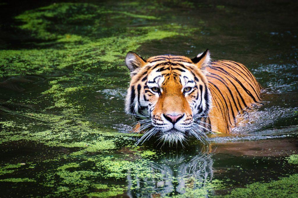 Tiger Dive on a tiger safari