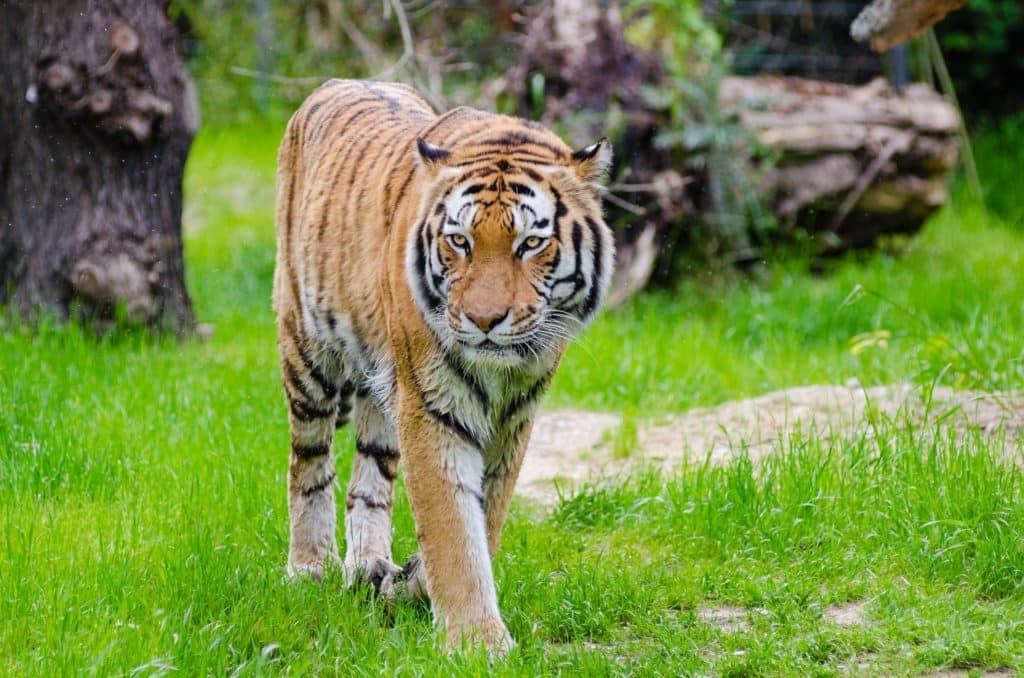 Tiger in India on a tiger safari