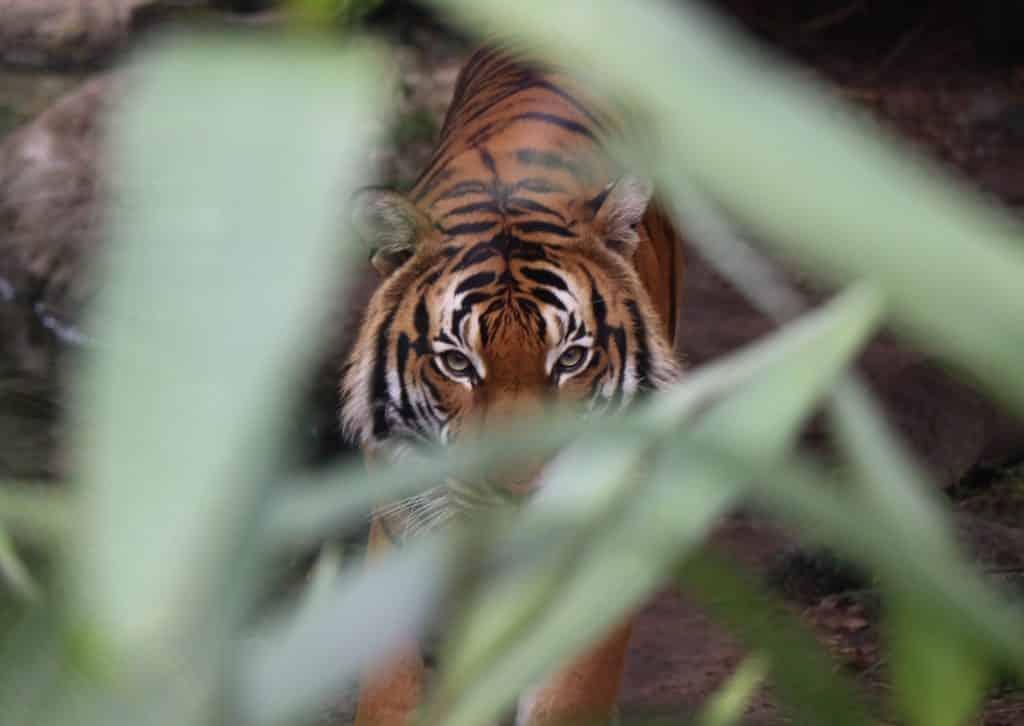 tiger in the wild on a tiger safari