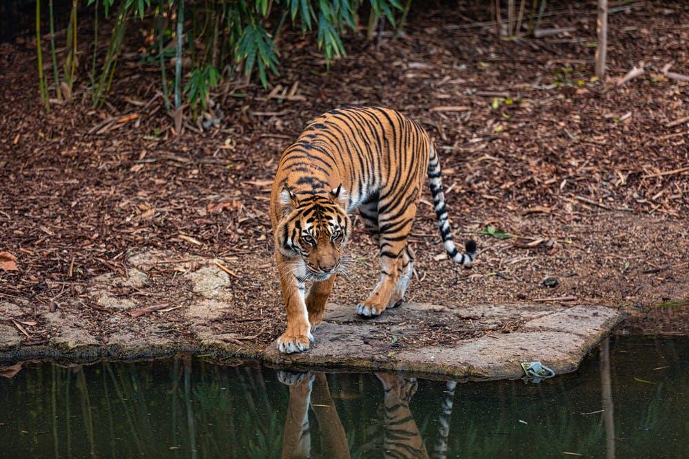 Tiger in freier Wildbahn in Indien nach einer Tigersafari oder -tour