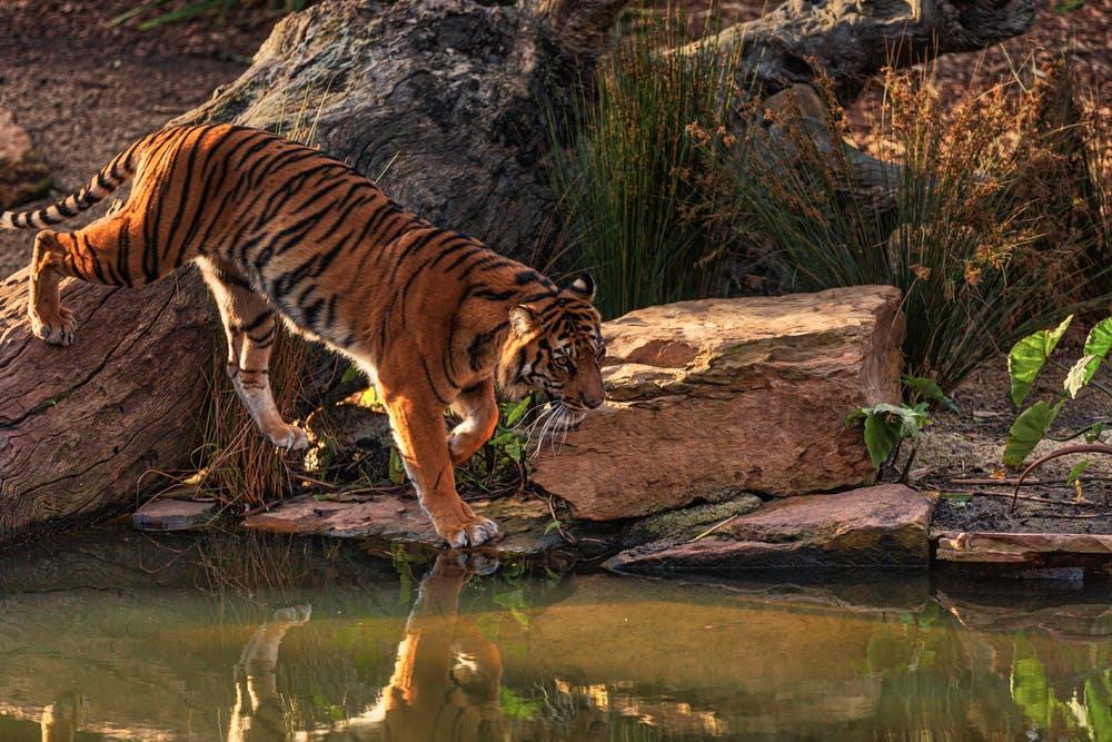 Tiger Fluss