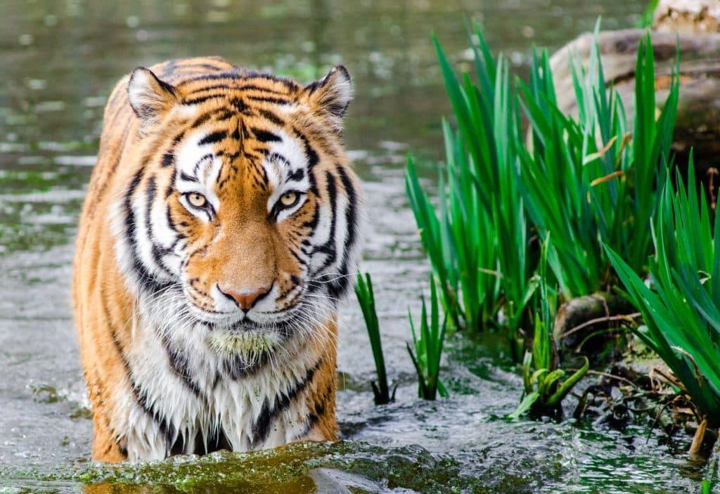 Tiger Safari or Tour