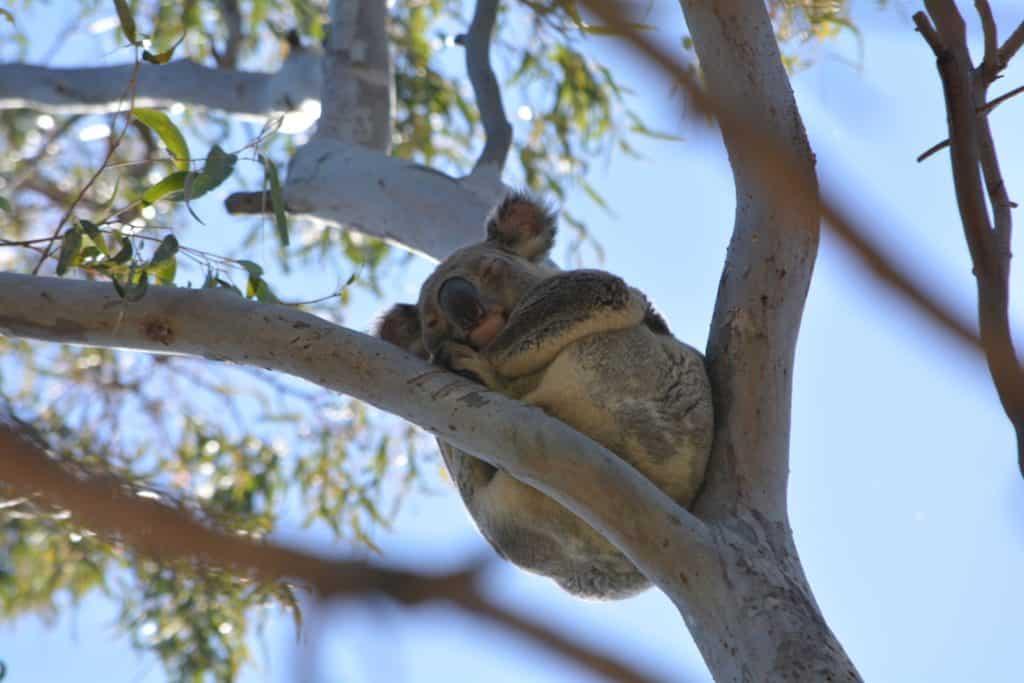 donde puedo ver un koala