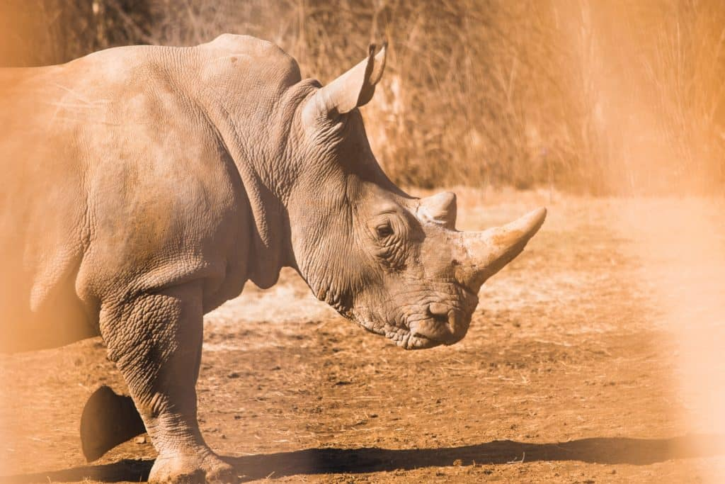 why rhinos are endangered