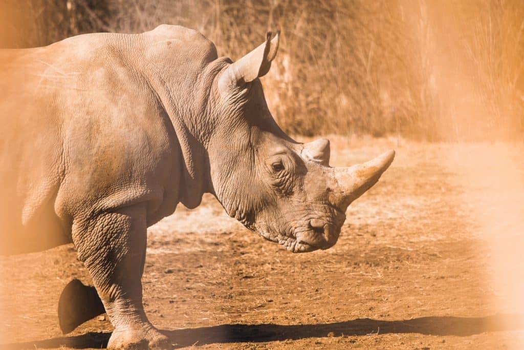 por qué los rinocerontes están en peligro de extinción