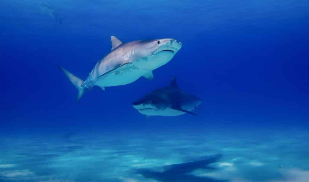 Tiger-sharks-in-the-water