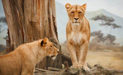 leones africanos