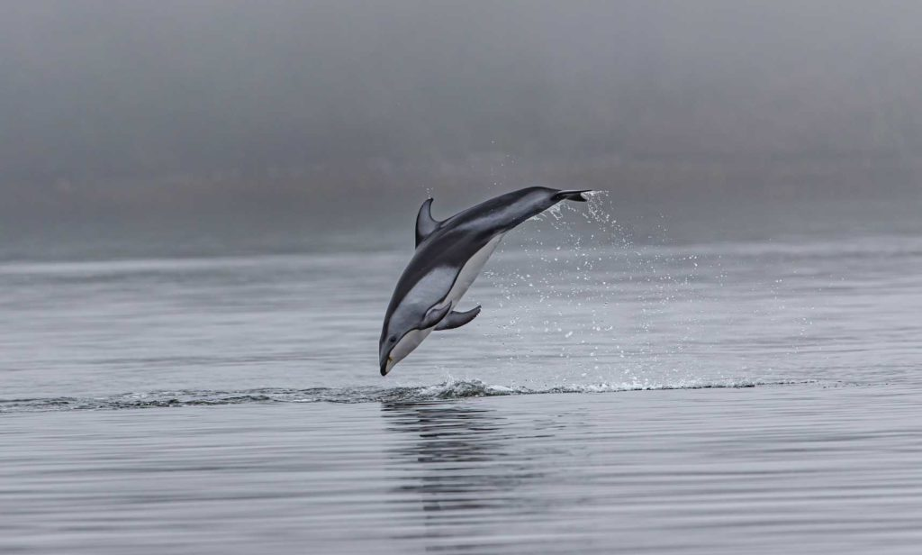 dolphin swims alone