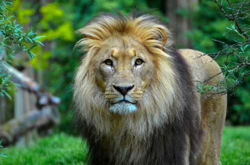 indian lion Best Places to See Lions